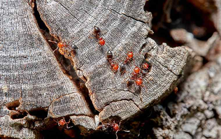 acrobat ants on tree stump