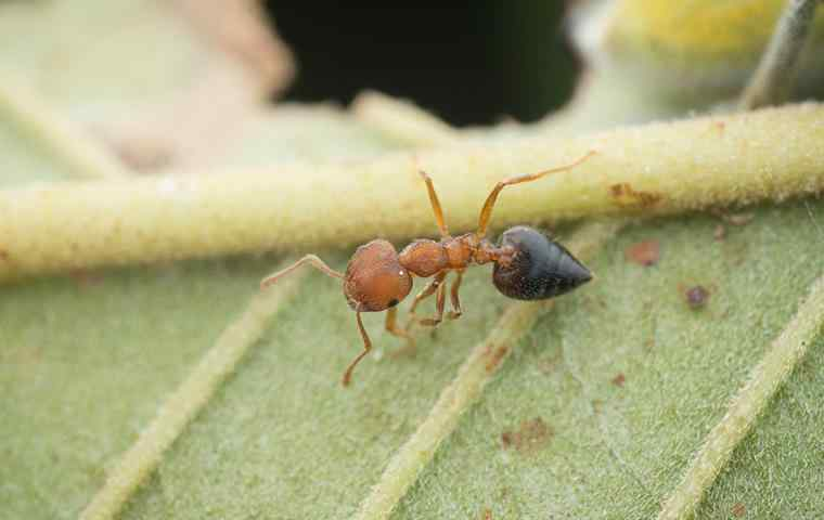 a small acrobat ant on a leaf