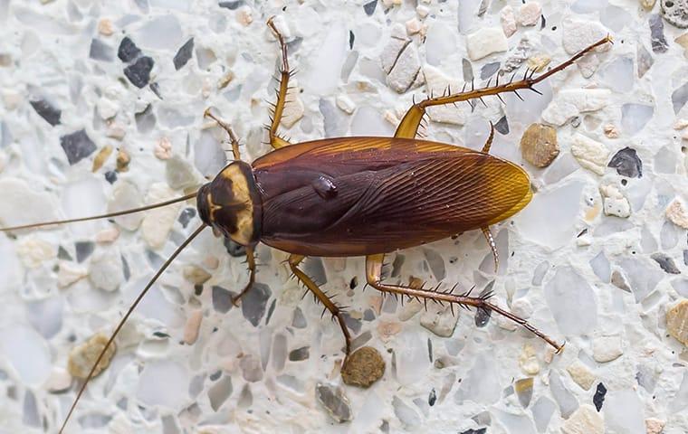 american cockroach on backsplash
