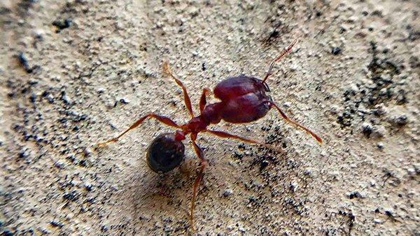 a acrobat ant