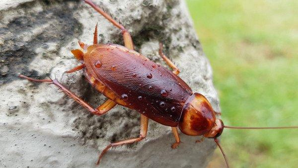 an american cockroach on a rock