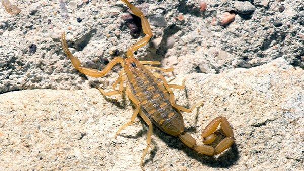 a bark scorpion on rocks