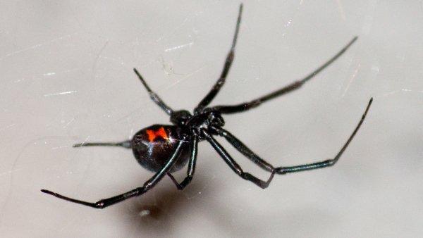 a black widow spider crawling on its web