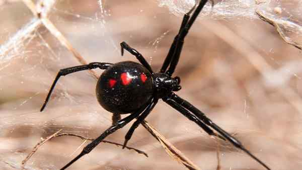 a black widow spider crawling on the ground