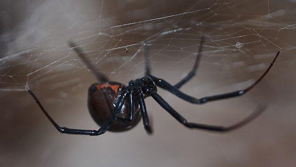 a black widow spider in a fort worth home
