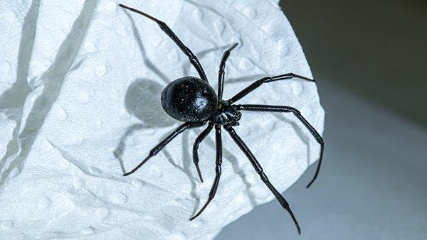 a black widow sspider crawling on paper
