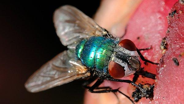 an up close image of a blow fly on meat