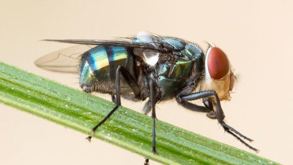 a blow fly on a blade of grass