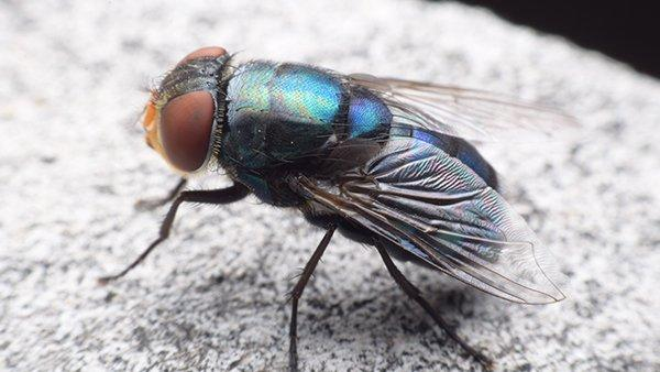 a blow fly resting on a rock