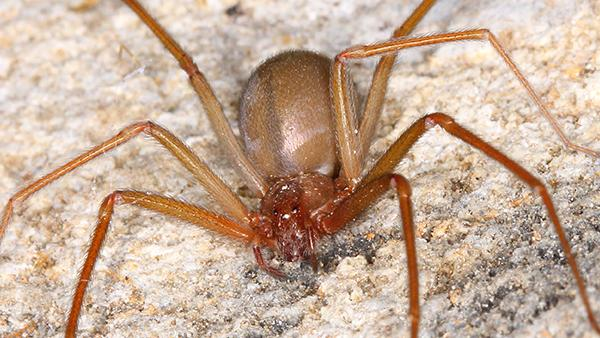 a brown recluse spider crawling on a porch