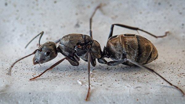 a carpenter ant crawling in a basement