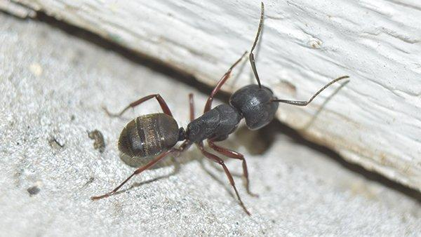 a carpenter ant on wooden board