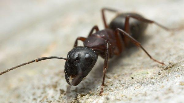 carpenter ant crawling on the ground near a house
