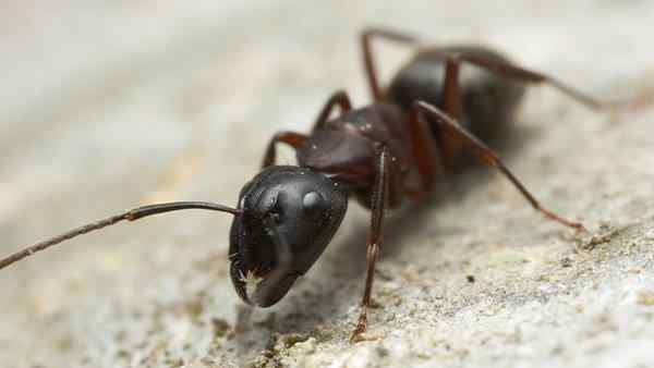 a carpenter ant crawling on the ground