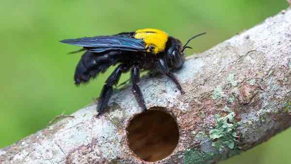 a carpenter bee crawling on wood near a nest