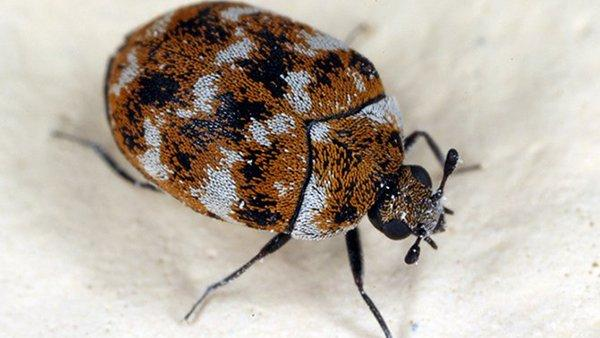 a carpet beetle in a home