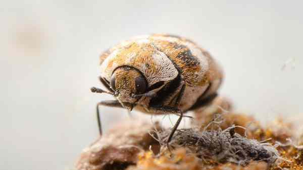 a carpet beetle on carpet fibers
