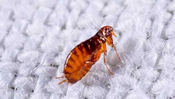 a cat flea crawling on fabric