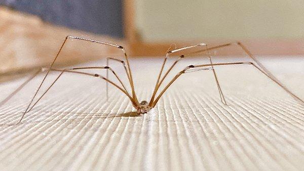 a cellar spider crawling on a basement floor