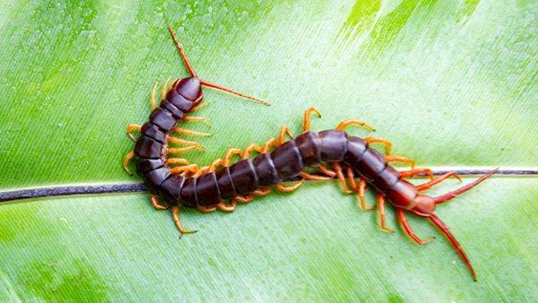 a centipede crawling on a leaf