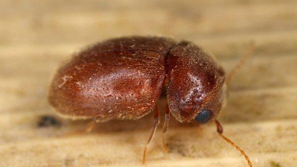cigarette beetle on a leaf