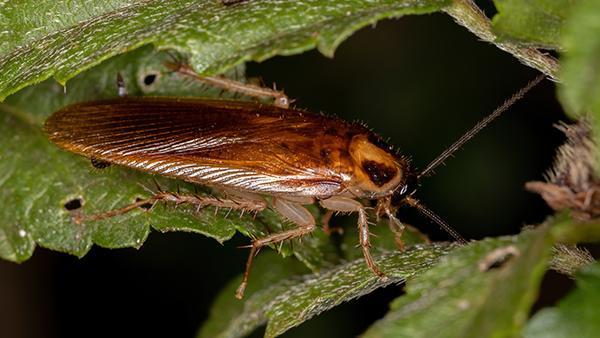 a german cockroach on a plant leaf