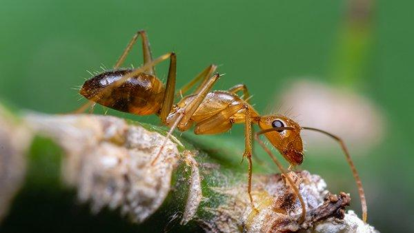 close up view of a crazy ant