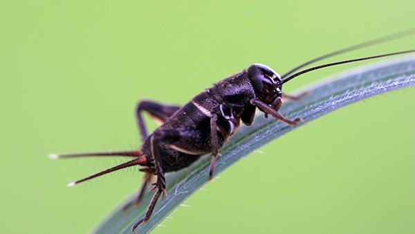a cricket on a blade of grass