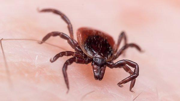 blacklegged tick biting skin