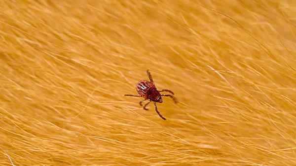 a dog tick crawling on pet hair