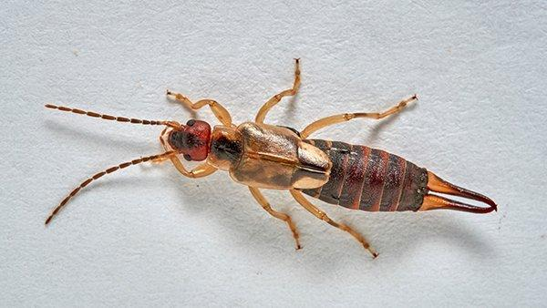 an earwig on a white wall