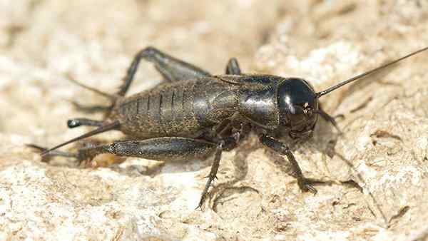 a field cricket crawling on the ground
