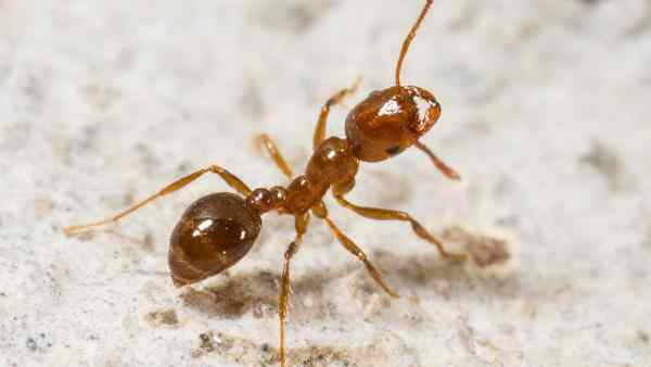 a fire ant on the ground
