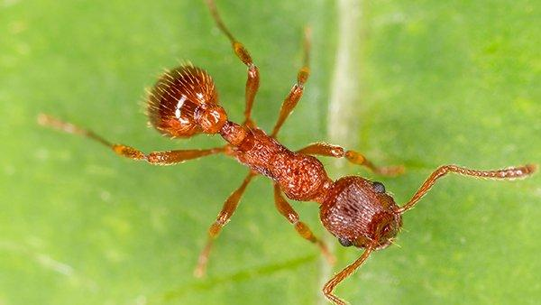 a fire ant crawling on a green leaf