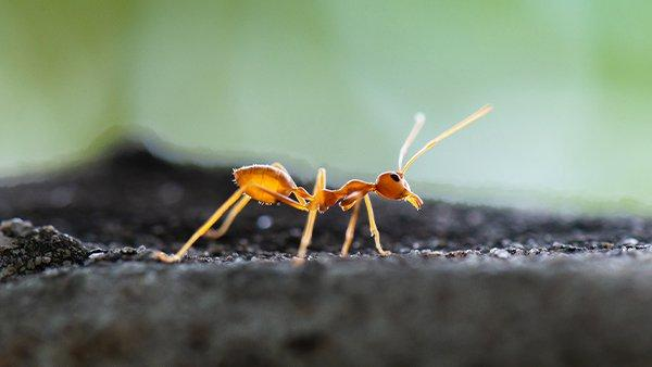 fire ant searching for food