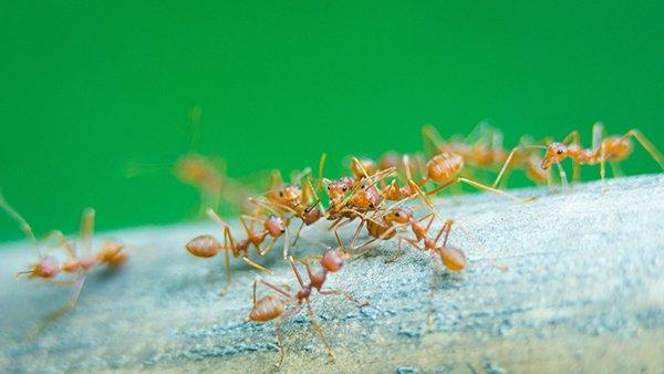 fire ants on a piece of wood