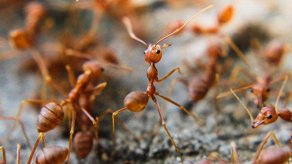 fire ants on a hill