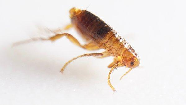 flea crawling on a home surface