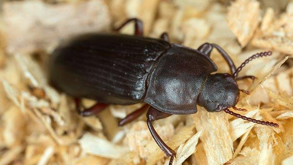 a flour beetle crawling on dry goods in a home