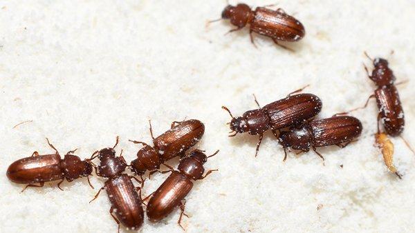 an up close image of flour beetles