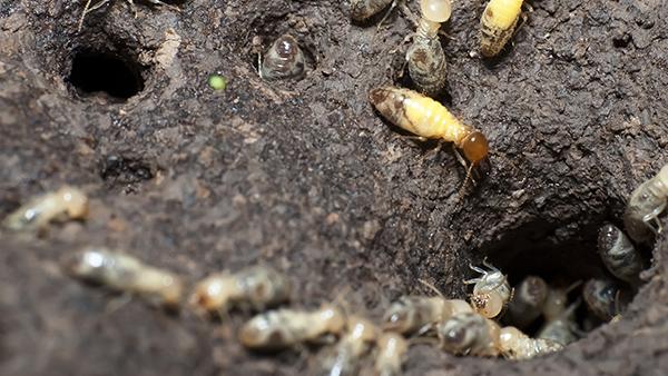 formosan termites crawling around tunnels
