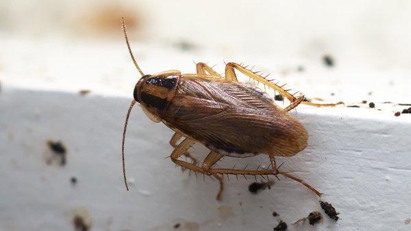 a german cockroach crawling on a window