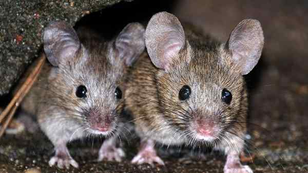 house mice crawling in a basement
