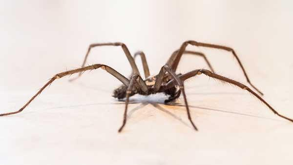 house spider in home