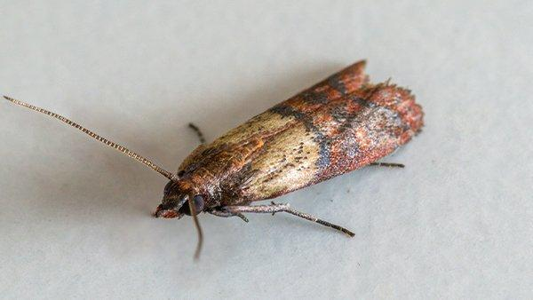 an indian meal moth crawling in a pantry