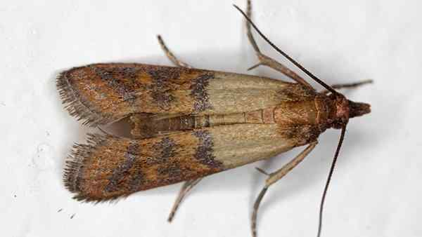 indian meal moths in a pantry
