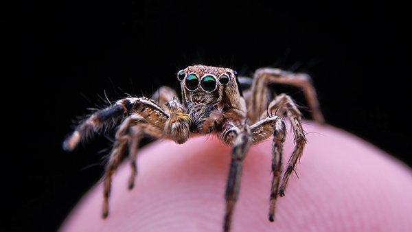 a jumping spider perched on a finger