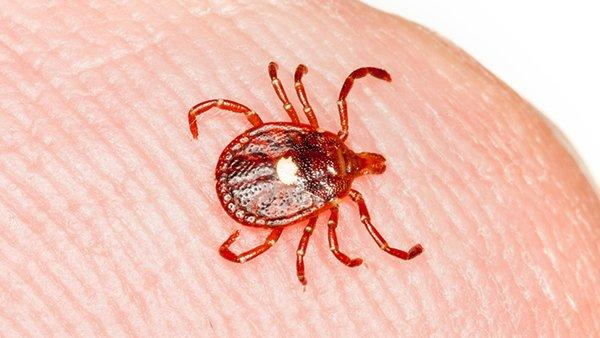a lone star tick crawling on a finger tip