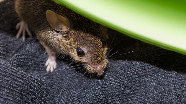 a mouse hiding inside a home