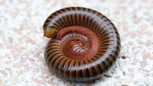 a millipede curled up on a basement floor